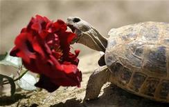 <p>A turtle bites into a rose blossom at the German Provincial Reconstruction Team (PRT) camp of German armed forces Bundeswehr in Kunduz April 20, 2009. REUTERS/Kai Pfaffenbach</p>