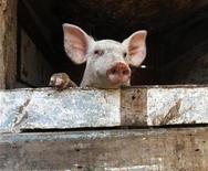 <p>Foto de archivo de un lechón en Sagua La Grande, Cuba, jul 19 2009. Un equipo internacional de investigadores dijo el lunes que logró mapear el ADN de un puerco doméstico, un trabajo que aseguran que podría ayudar a mejorar las técnicas de crianza y el desarrollo de vacunas contra enfermedades como la influenza porcina. REUTERS/Desmond Boylan</p>