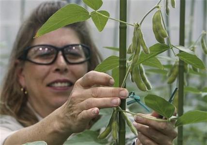 Nancy Brumley, Monsanto Soybean Plant Specialist, ties up a stalk of soybean in the soybean greenhouse at the Monsanto Research facility in Chesterfield, Missouri, October 9, 2009. REUTERS/Peter Newcomb