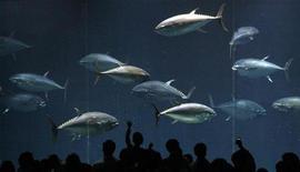 <p>Le nazioni che praticano la pesca hanno concordato ieri una riduzione di circa un terzo della quota di prelievo in Atlantico di tonno pinna blu, apprezzato soprattutto dagli amanti del sushi, il cui numero è stato decimato dalla pesca commerciale. Nella foto dei tonni in una vasca dell'acquario di Tokyo. REUTERS/Issei Kato</p>