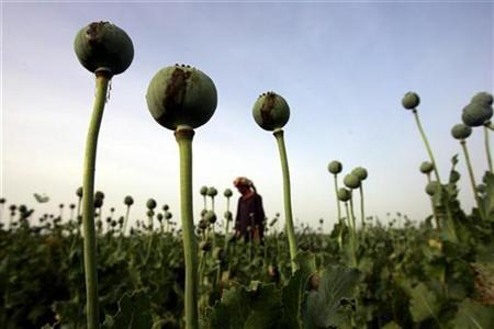 An Afghan man walks in a poppy field in a village outside Balkh province, about 500 km (310 miles) north of Kabul May 6, 2006. REUTERS/Ahmad Masood