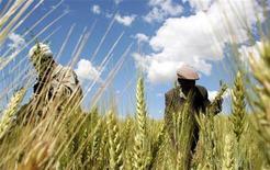 <p>Un campo di grano REUTERS/Barry Malone</p>