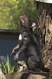<p>A healthy Tasmanian Devil is seen in this undated handout photo released October 8, 2007. REUTERS/Hannah Bender/University of Sydney</p>