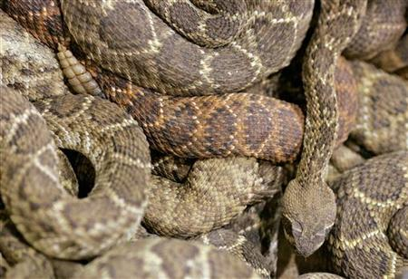 A rattlesnake at the Rattlesnake Round-up in Sweetwater, Texas March 12, 2006. REUTERS/STR New