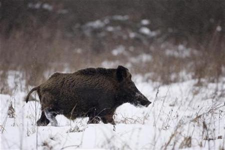 A wild boar runs in the 30 km (18 miles) exclusion zone around the Chernobyl nuclear reactor near the village of Babchin, some 370 km (217 miles) southeast of Minsk, January 9, 2009. REUTERS/Vasily Fedosenko
