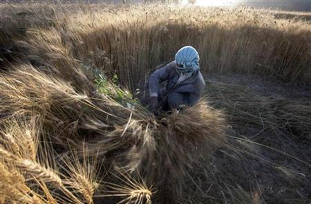 A man harvests wheat in Bamiyan, located in central Afghanistan August 16, 2009. REUTERS/Adrees Latif