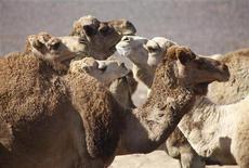 <p>Cammelli in foto d'archivio. REUTERS/Majed Jaber</p>
