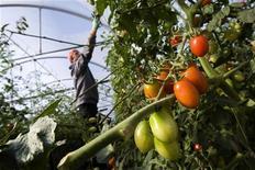 <p>Мужчина обрабатывает кусты томата в теплице Комисо, Италия 11 ноября 2009 года. Крупнейший российский автопроизводитель АвтоВАЗ, ищущий возможность пристроить оказавшихся ненужными в кризис работников, готов заняться овощеводством: его дочерняя компания АвтоВАЗагро будет выращивать в теплицах огурцы и помидоры. REUTERS/Tony Gentile</p>