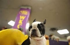 <p>Jennifer, un Boston Terrier, a la espera del show canino del Westminster Kennel Club en Nueva York, feb 15 2010. Los concursos de belleza pueden ser cosa del pasado, pero los de perros son más populares que nunca, como demuestra la multitud que llegó al Madison Square Garden de Nueva York el lunes para el primer día del espectáculo anual canino del Westminster Kennel Club's. REUTERS/Jeff Zelevansky</p>