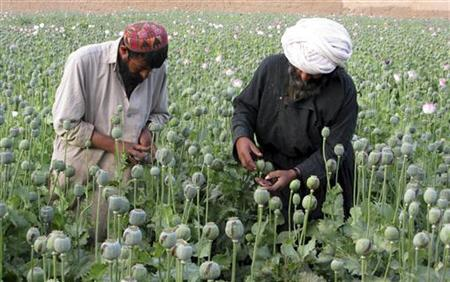 Afghan farmers work on a poppy field in the Grishk district of Helmand province in this April 18, 2009 file photo. REUTERS/Abdul Qodus/Files
