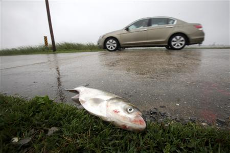 A dead fish is seen on the side of a road in Venice, Louisiana May 3, 2010. REUTERS/Carlos Barria