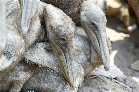 Lightly oiled Brown Pelican chicks wait in a pen to be cleaned at a rescue center facility set up by the International Bird Rescue Research Center in Fort Jackson, Louisiana June 7, 2010. REUTERS/Sean Gardner