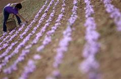 <p>Antonia Moreno collects flowers of crocus sativus, the saffron crocus, during the saffron harvest in Consuegra, central Spain, October 28, 2010. REUTERS/Sergio Perez</p>