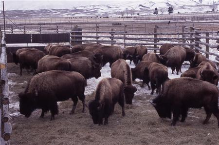 Bison are pictured in the foreground and distant pens at the Stephens Creek capture facility northwest of Gardiner, Montana in this March 2003 photograph released on January 15, 2011. REUTERS/National Park Service/Jim Peaco/Handout