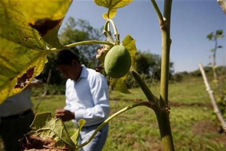 A researcher checks samples of jatropha fruit at a research facility in Rosario Izapa, Mexico February 26, 2009. REUTERS/Daniel LeClair