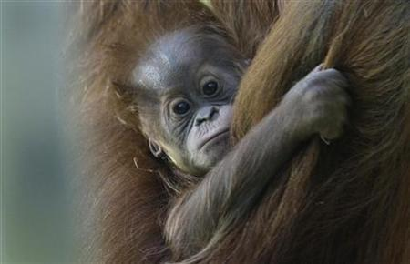 A baby orangutan clings to her mother in a zoo in this file photo. REUTERS/Michaela Rehle