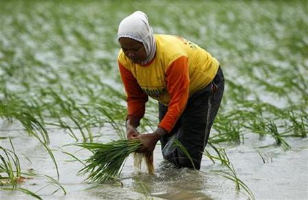 A farmer replants paddy seedlings in a flooded paddy field near Indramayu town in Indonesia's West Java province February 1, 2011. REUTERS/Beawiharta