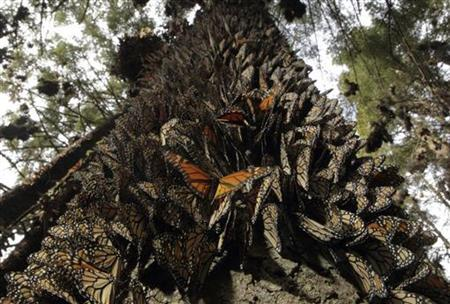 Hundreds of Monarch butterflies line a tree in the Pedro Herrada butterfly sanctuary, on a mountain in the Mexican state of Michoacan, February 1, 2011. REUTERS/Felipe Courzo