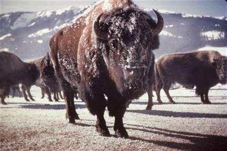 Buffalo in Yellowstone in a file photo. REUTERS/File