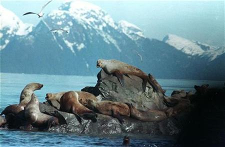 Sea lions rest on a rock in the oily waters of Prine William Sound near Knight Island, in this April 2, 1989 file photo, after the worst oil spill in U.S. history, caused by the Exxon Valdez. More than two decades after the Exxon Valdez supertanker struck a reef and unleashed the nation's biggest tanker spill, a lingering legal dispute about the disaster heads back to court on Friday. REUTERS/Mike Blake
