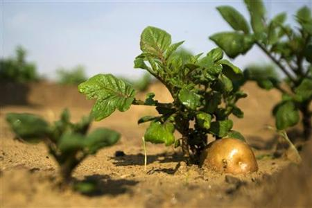 A potato grows in a field irrigated by recycled waste water in Kibbutz Magen in southern Israel November 15, 2010. REUTERS/Amir Cohen