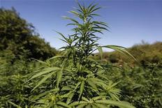 """<p>Плантация марихуаны в Мексике 30 ноября 2010 года. Суд города Лелистад приговорил голкипера голландского """"АДО Ден Хаг"""" Джино Коутиньо к шести месяцам условного тюремного заключения и общественным работам по ряду обвинений, в том числе за выращивание конопли, сообщил клуб. REUTERS/Tomas Bravo</p>"""