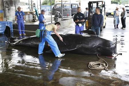 A captured short-finned pilot whale is measured by fishery workers including Fisheries Agency employees at Taiji Port in Japan's oldest whaling village of Taiji, 420 km (260 miles) southwest of Tokyo, June 4, 2008. REUTERS/Issei Kato