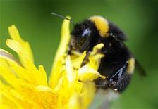 <p>A bumble bee lands on a plant in Pitlochry in Scotland May 29, 2010. REUTERS/Russell Cheyne</p>