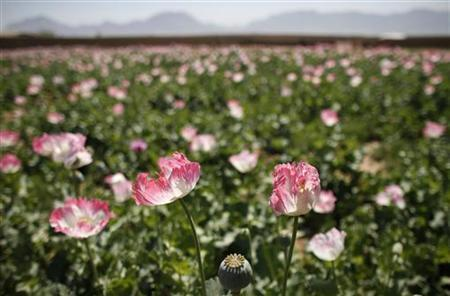 A large field of poppies grows on the outskirts of Jelawar village in the Arghandab Valley north of Kandahar April 18, 2011. REUTERS/Bob Strong