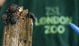 <p>Zoo keeper Dan McFarlane poses for photographers behind a group of fregate beetles during a photocall at London Zoo's annual stocktake January 8, 2009. REUTERS/Andrew Winning</p>