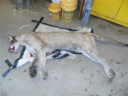 A mountain lion killed on a Connecticut highway in June, is pictured in this undated file photograph. REUTERS/Stringer
