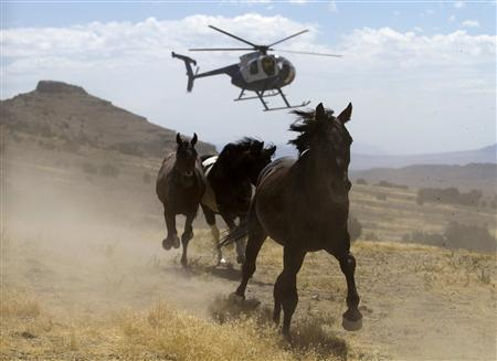 A helicopter is used by the Bureau of Land Management (BLM) to gather wild horses in the Conger Mountains near Border in Utah in this September 7, 2010 file photo. REUTERS/Jim Urquhart/Files