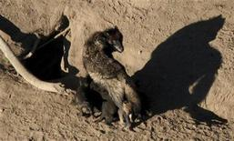 <p>A gray wolf and its nursing pups are pictured in Yellowstone National Park in this undated photograph obtained on May 4, 2011. REUTERS/National Park Service/Handout</p>