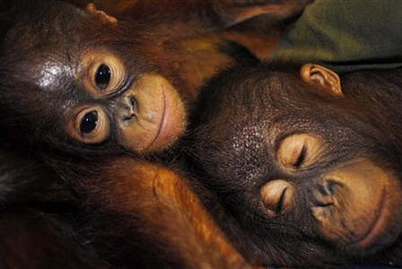 Orangutans rest in Palangkaraya in the province of Central Kalimantan in this May 3, 2007 file photo. REUTERS/Hardi Baktiantoro/Files
