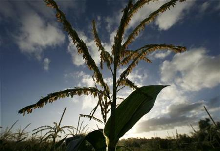 Sweet corn is seen in the field at Chino's family farm in Rancho Santa Fe, California October 5, 2007. REUTERS/Mike Blake