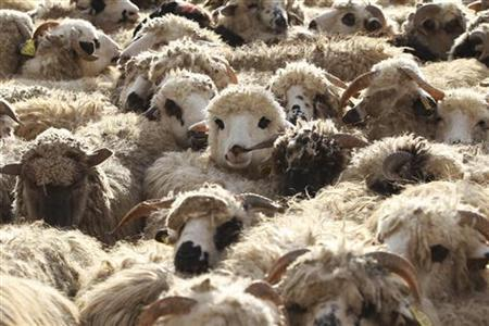 Sheep are displayed for sale at a livestock market in Amman November 5, 2011. REUTERS /Muhammad Hamed
