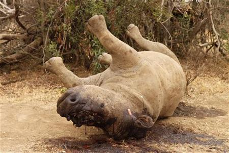 The carcass of a rhino is seen after it was killed for its horn by poachers at the Kruger national park in Mpumalanga province September 14, 2011. South Africa loses hundreds of rhinos a year to illegal horn trade as high demand for rhino horn in the illegal market triggers an unprecedented poaching crisis. REUTERS/Ilya Kachaev