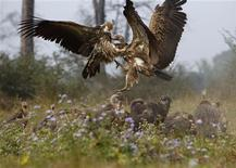 <p>Vultures battle for a cow carcass as they feed at a vulture restaurant in Nawalparasi, southwest of Kathmandu February 2, 2012. REUTERS/Navesh Chitrakar</p>