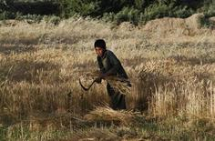<p>An Afghan boy harvests wheat at his father's farm outside Kabul June 9, 2011. REUTERS/Mohammad Ismail</p>