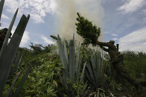 Forty hectares of marijuana