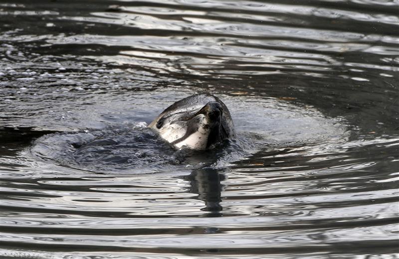 A dolphin in Brooklyn