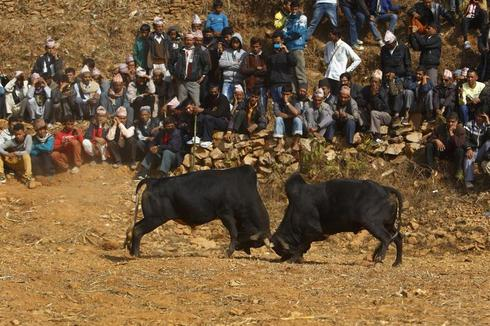 Village bullfight