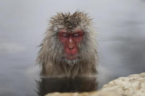 Monkeys in a hot spring
