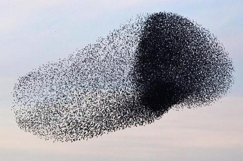 Starlings in the sky