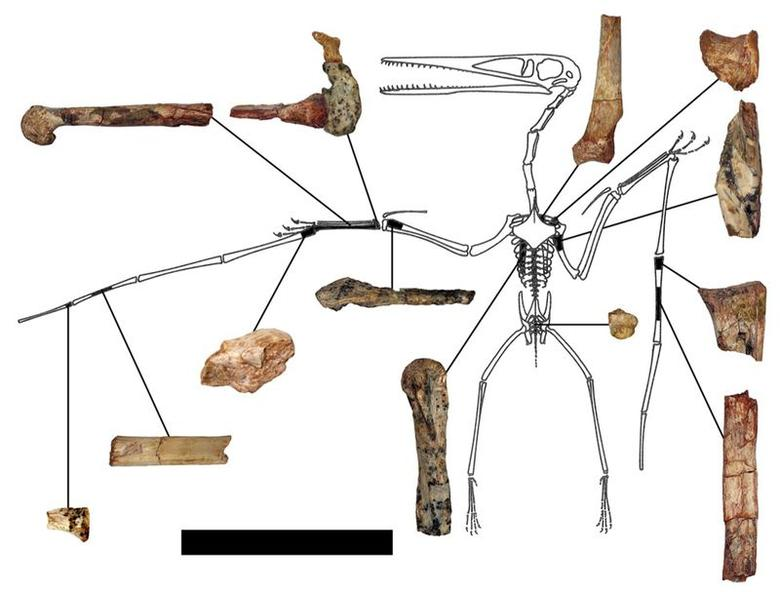 The fragmentary remains of the Kryptodrakon progenitor found in the famed ''dinosaur death pits'' area of the Shishugou Formation in northwest China are seen in an undated illustration courtesy of Brian Andres. Scientists on Thursday said they have found a fossil from 163 million years ago that represents the oldest known example of a lineage of advanced flying reptiles that later would culminate in the largest flying creatures in Earth's history. REUTERS/Illustration by Brian Andres/Outline by Peter Wellnhofer/Handout