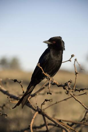 Forked-tail drongo is shown perched in Kuruman River Reserve in South Africa in 2008 in this image courtesy of Tom Flower.  REUTERS/Tom Flower/Handout