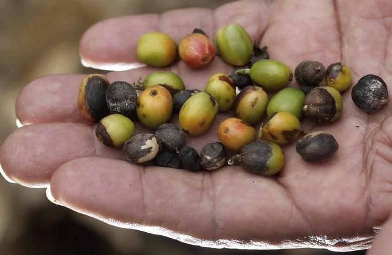 Costa Rican coffee farmer Isidro Corrales shows coffee beans affected by a tree-killing fungus known as roya in Perez Zeledon July 12, 2013. REUTERS/Juan Carlos Ulate