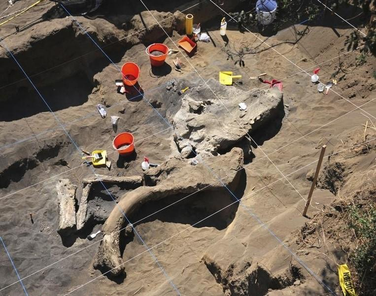 The buried remains of a Columbian mammoth (Mammuthus colombi) are seen at a site where archaeologists from Mexico's National Institute of Anthropology and History (INAH) are working in this handout photograph taken on April 4, 2013 and released to Reuters on April 9, 2013. REUTERS/INAH/Handout