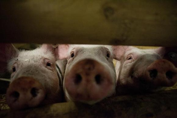 Pigs stick their noses through a gate in the animal pavilion at the Green Week Agriculture and Food fair in Berlin, January 19, 2012.   REUTERS/Thomas Peter