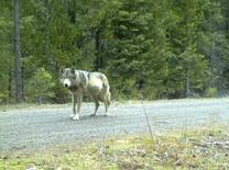 A wolf roaming the same area as OR 7 is seen in this undated Oregon Fish & Wildlife handout photo taken with a remote camera. REUTERS/Oregon Fish & Wildlife/Handout
